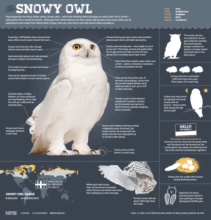 Snowy-Owl-Infographic