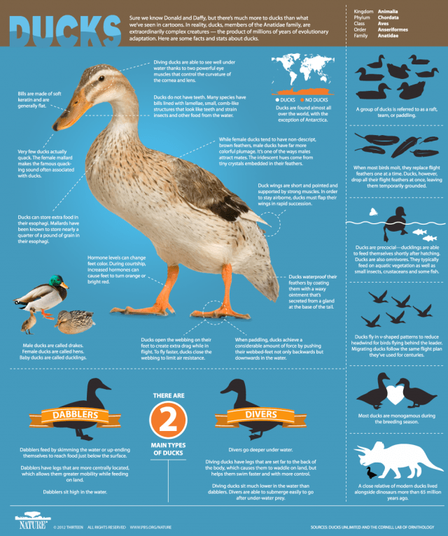 DuckInfographic-Final2-640x766