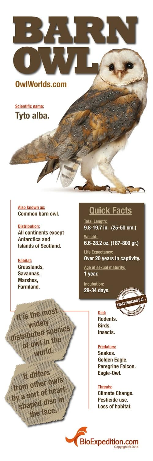 Majestic Barn Owl Infographic