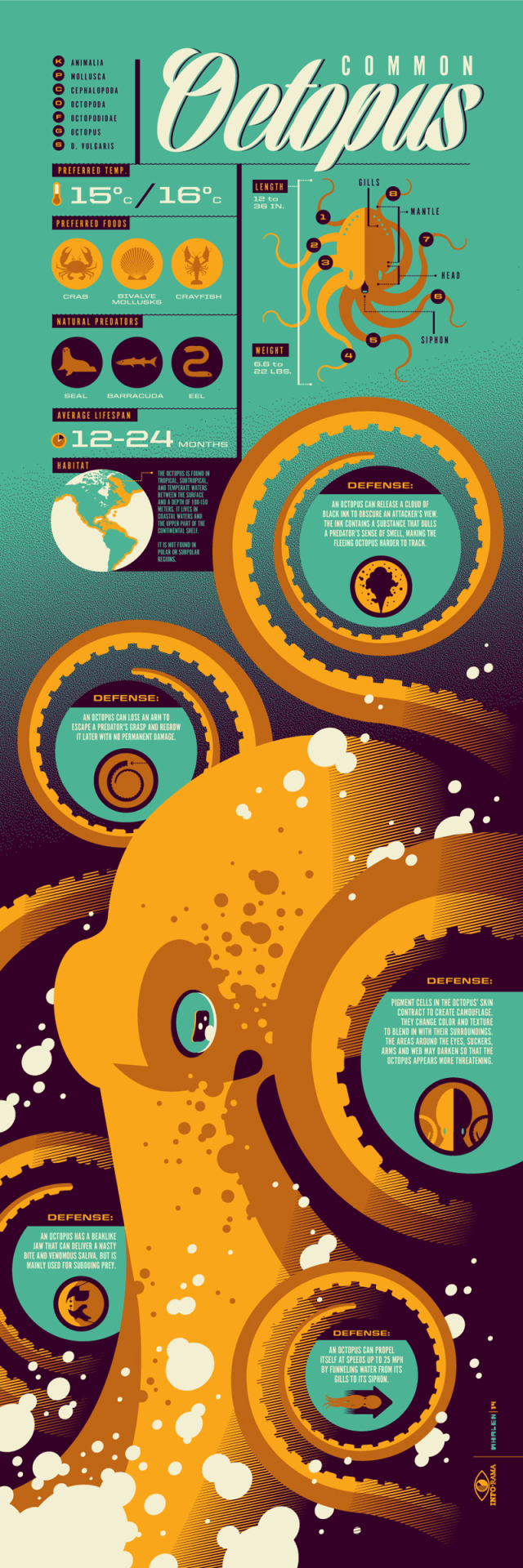 Infographic showing everything you need to know about the octopus.