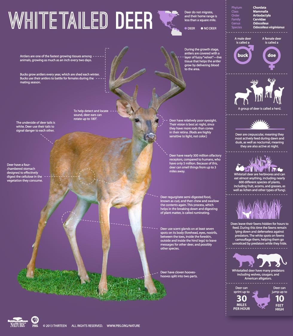 names for deer